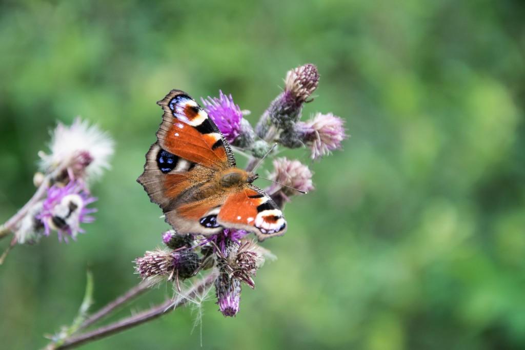 Motýli Babočky 0001