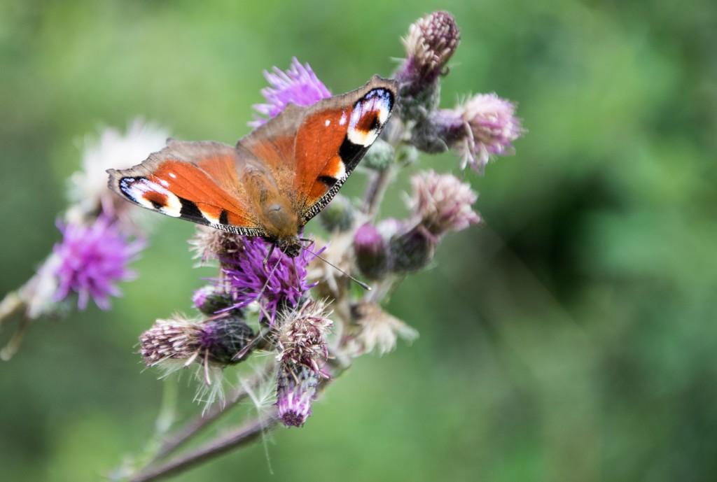 Motýli Babočky 0002