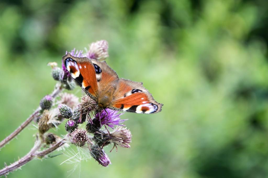 Motýli Babočky 0003