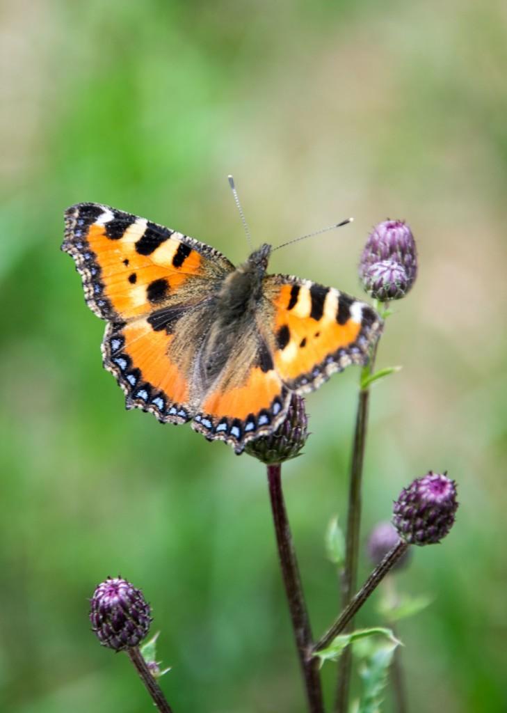 Motýli Babočky 0004