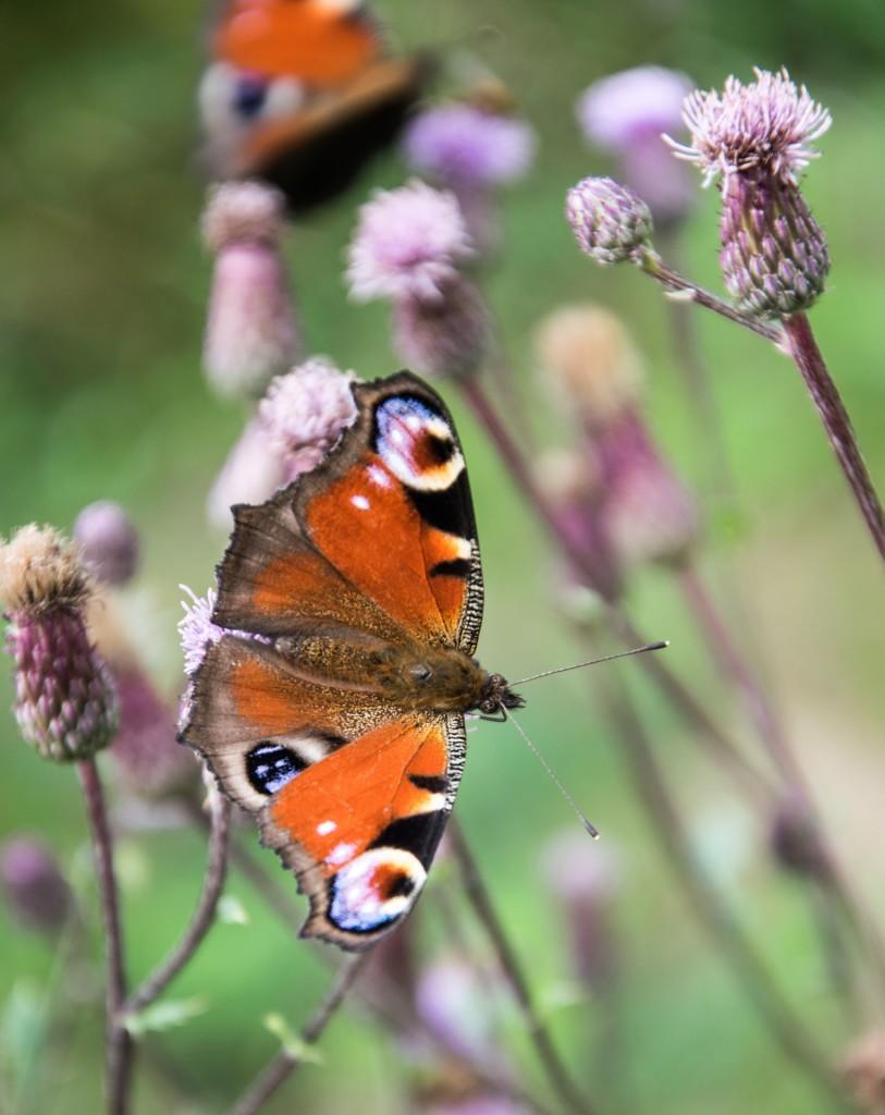 Motýli Babočky 0005