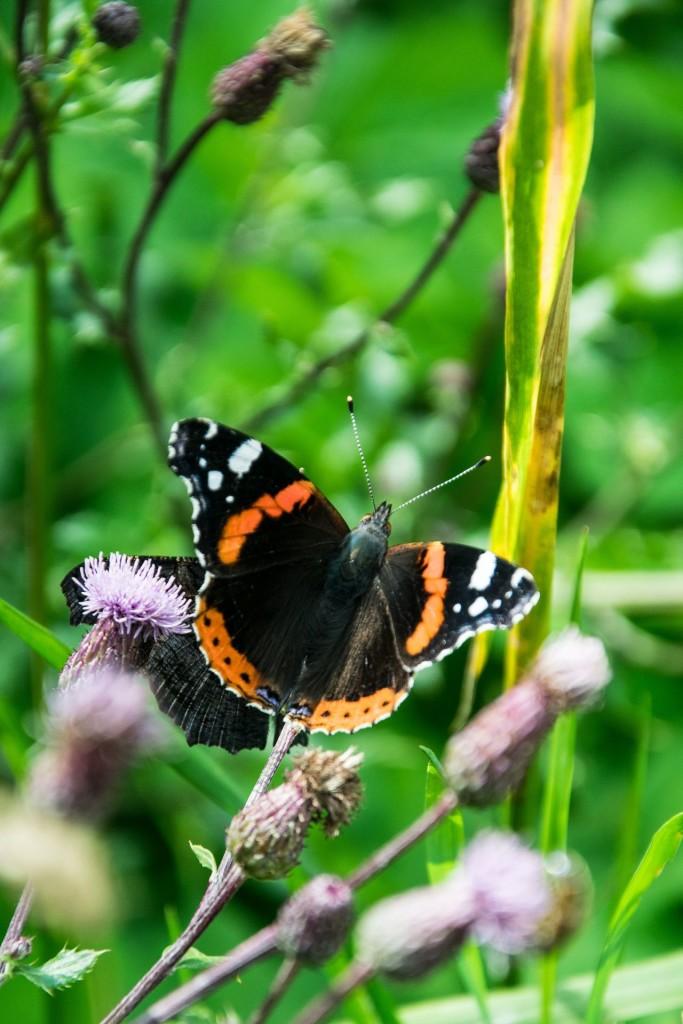 Motýli Babočky 0006