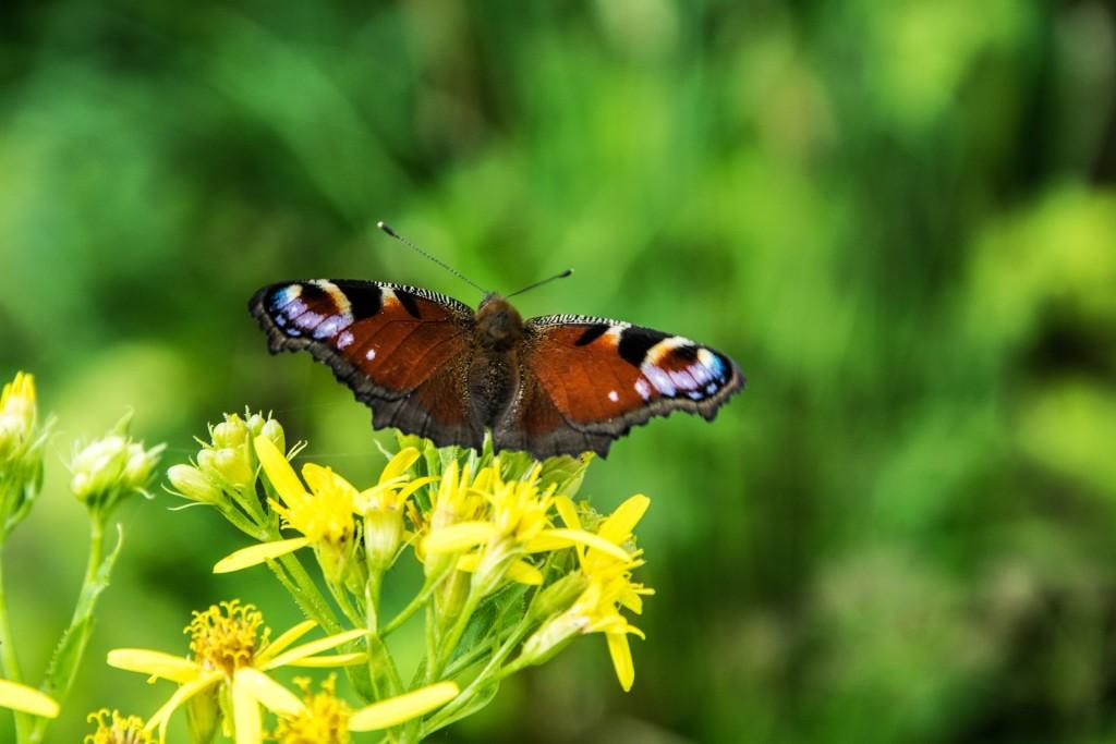 Motýli Babočky 0007