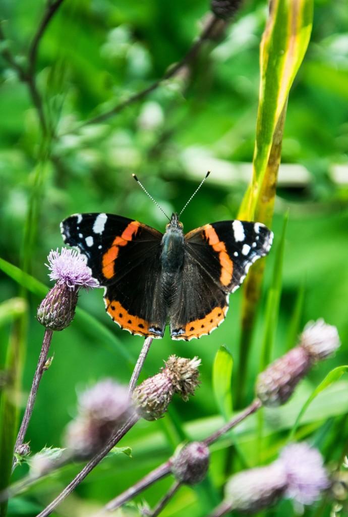 Motýli Babočky 0008