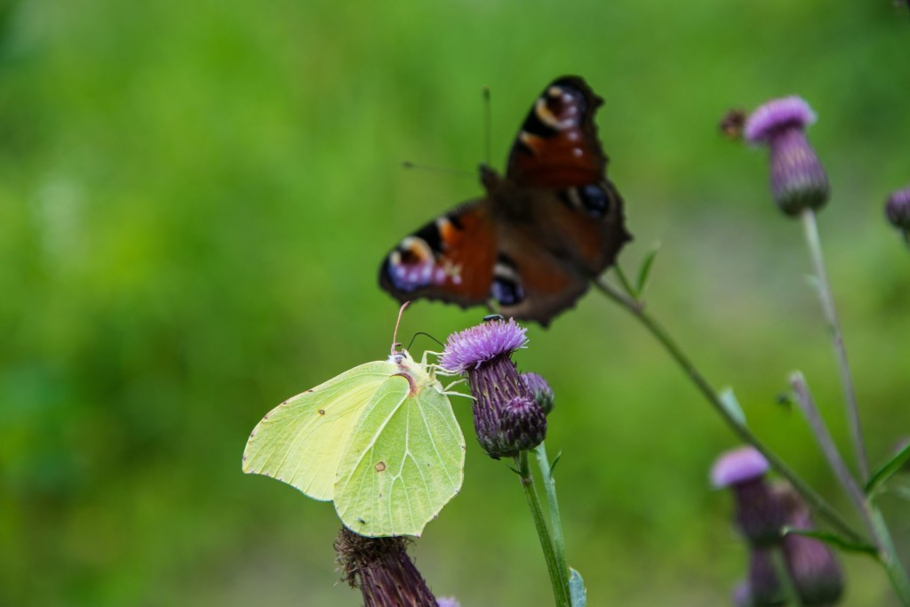 Motýli Babočky 0009